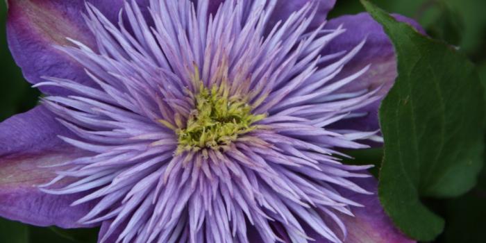 Fleur à massifs